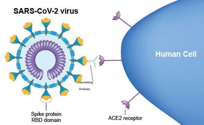 Anticorpi neutralizzanti verso la proteina spike disars cov2.